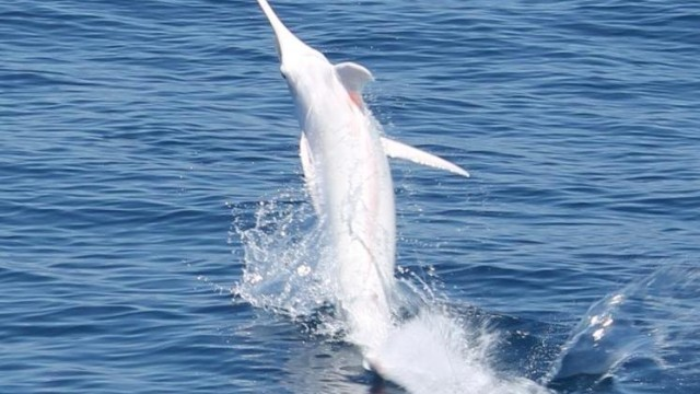 albino blue marlin costa rica