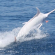 albino blue marlin costa rica main