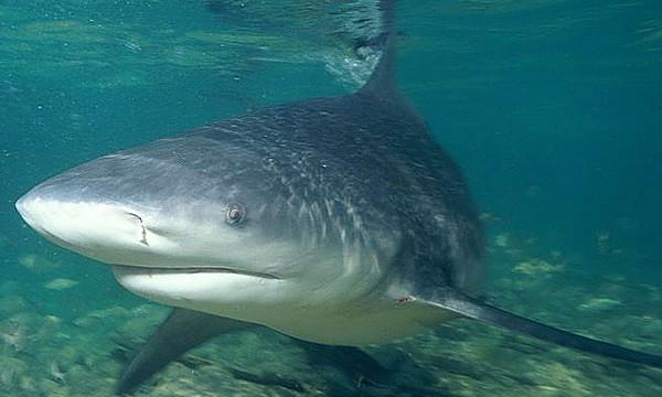 bull shark costa rica
