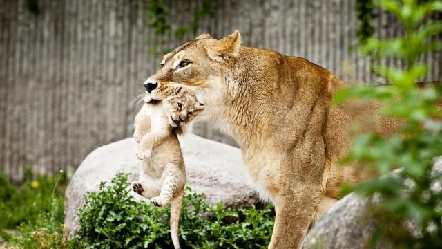 copenhagen-zoo-kills-lions 1