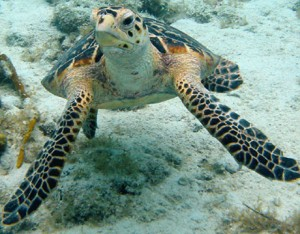 hawksbill-sea-turtle-costa rica