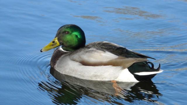 mallard duck 1