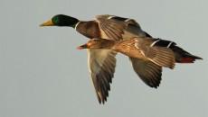 mallard duck main