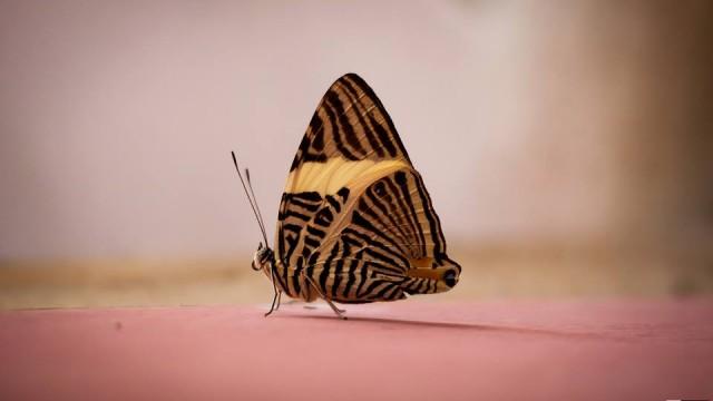 scott alexander costa rica butterfly