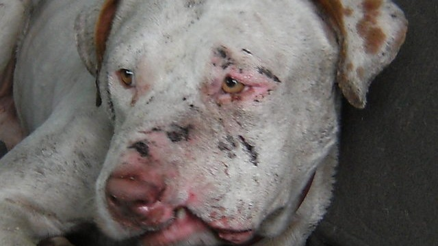 dog fighting costa rica