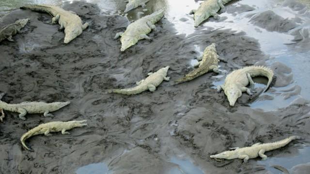 man eaten by crocodiles in costa rica