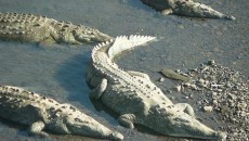 man eaten by crocodiles in costa rica main