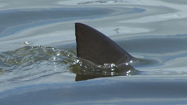 shark fin above water costa rica