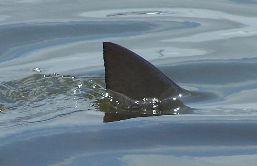 Shark Fins In Water