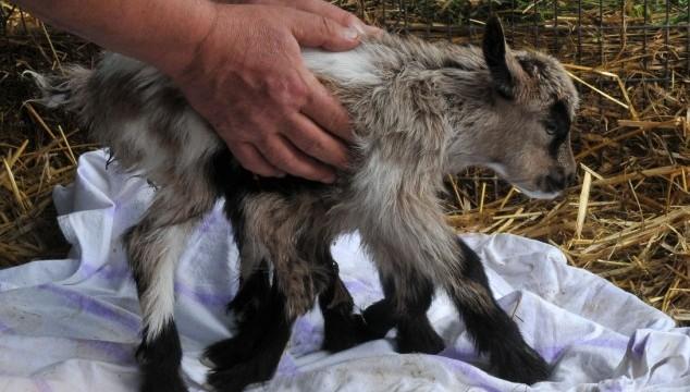 octogoat born 8 legs goat