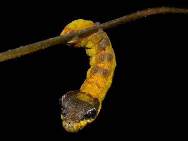 Caterpillars Costa Rica 1