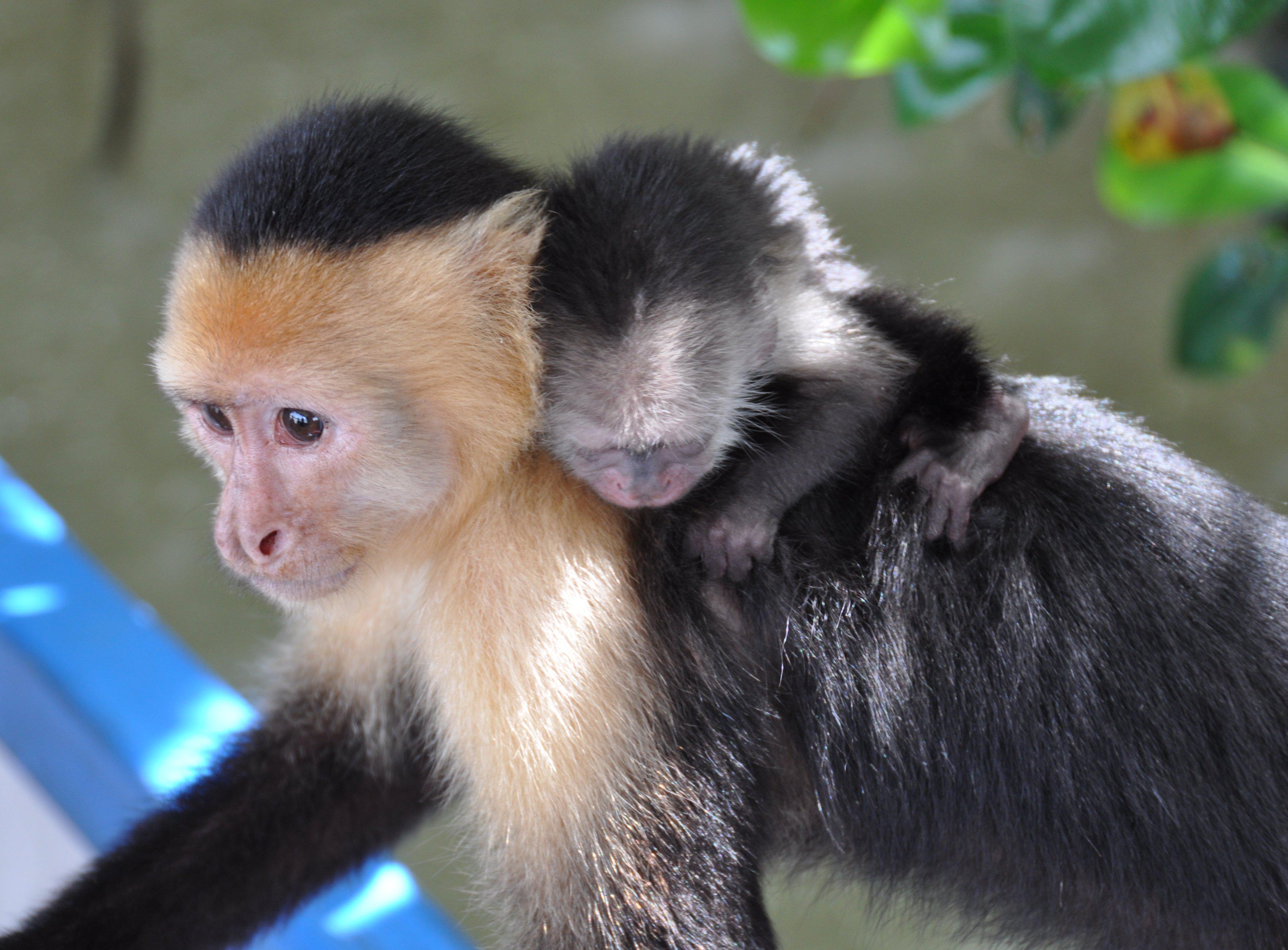 Costa Rica White Faced  Monkey