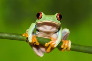 Raranio monteverde costa rica frog pond 1