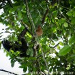 Costa Rica Three Toed Sloth