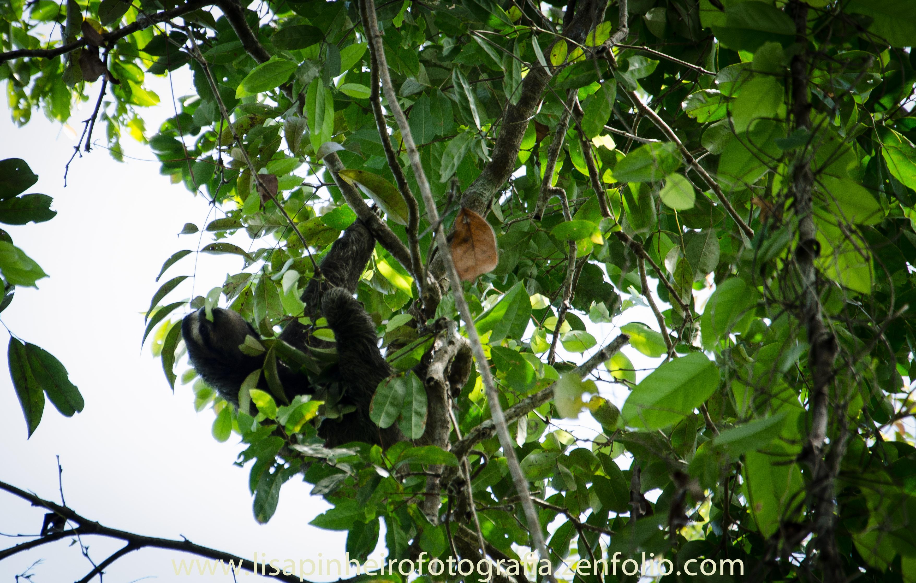 Costa Rica Three Toed Sloth