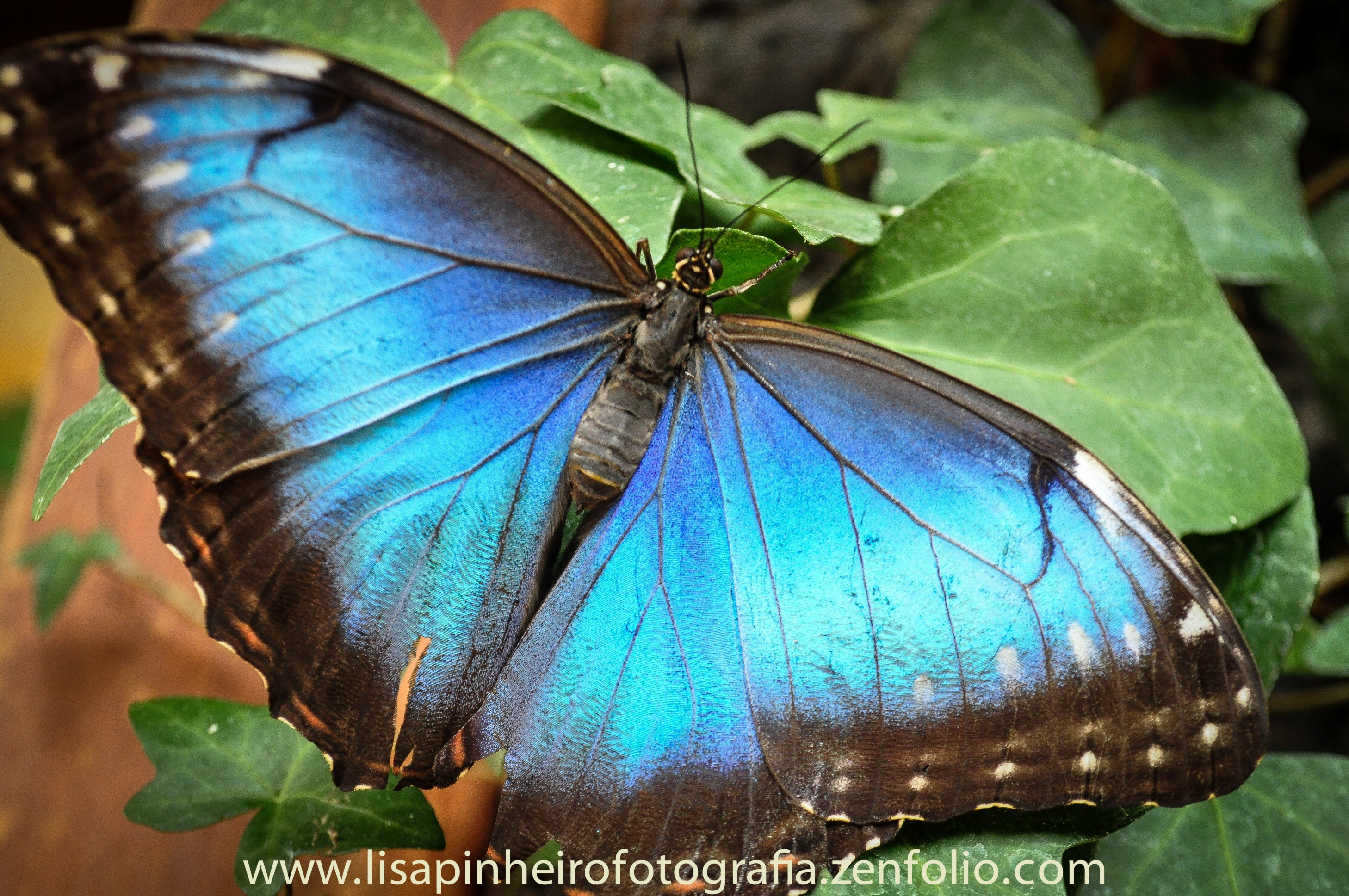 Blue Morpho Butterfly Costa Rica