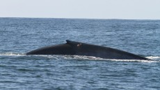 blue whale feeding main