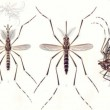 Aedes aegypti mosquitoes transmit the dengue fever virus