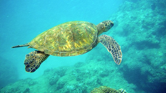 sea-turtle-sanjay-costa-rica 1