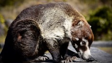 Costa Rica Coatis