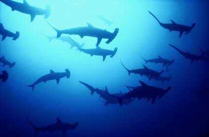 cocos island sharks