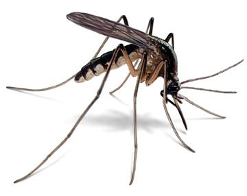 costa rica mosquitoes