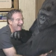 robin williams koko gorilla main