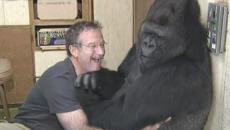 robin williams koko gorilla main