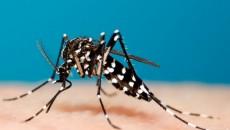 Chikungunya mosquito costa rica main