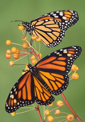 Monarch Butterflies migration 1