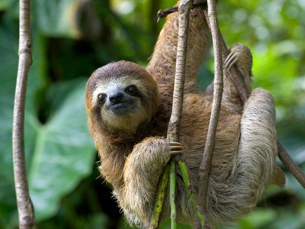 costa rica sloth 1