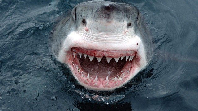 great white shark attack achmat hassiem