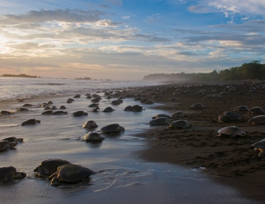 olive ridley turtles costa rica arribada main