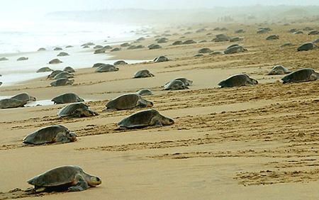 olive ridley turtles costa rica arribada