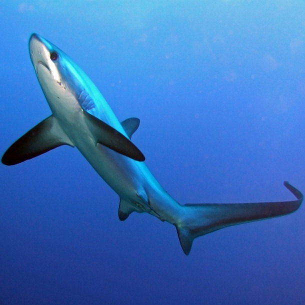 Thresher shark 1