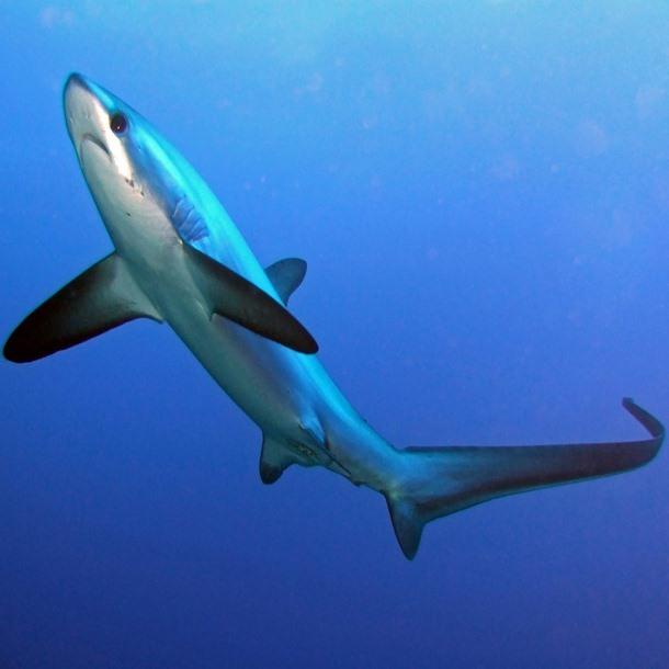 Thresher shark 1