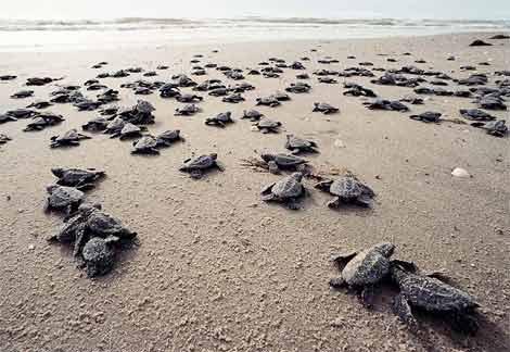 annual turtle festival costa rica matapalo 1