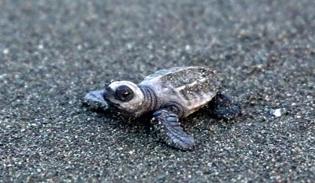 asvo costa rica sea turtles main