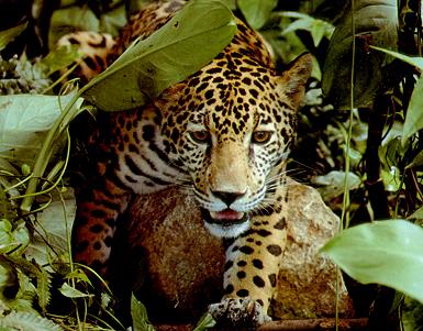 costa rica jaguars