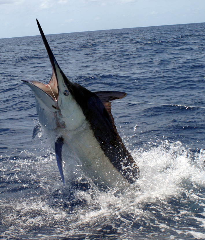 Costa rica sportfishing 101 what are the central pacific for Costa rica fishing season