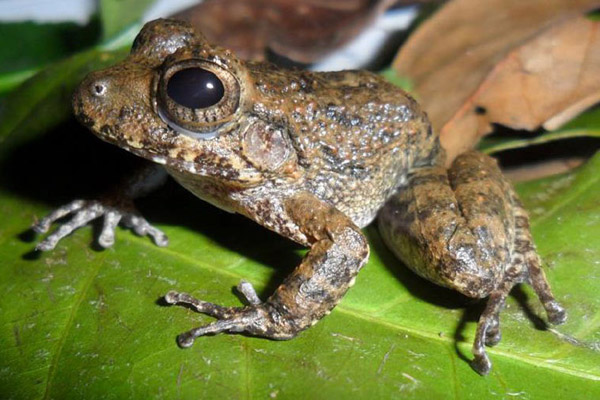 south pacific streamside frog