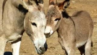 wild-burros-donkeys-donkeyland