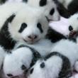 Baby-Pandas