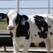 Sioux Falls GMO cattle ebola