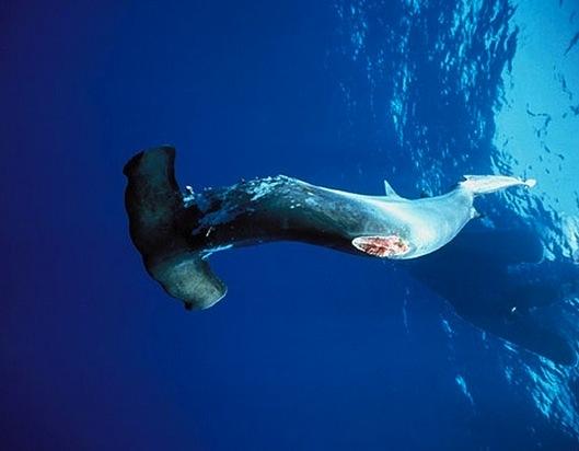 hammerhead shark finning costa rica 2