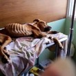 starved dog costa rica animal abuse