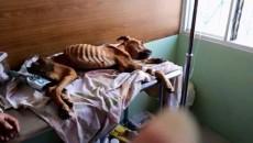 starved dog costa rica animal abuse