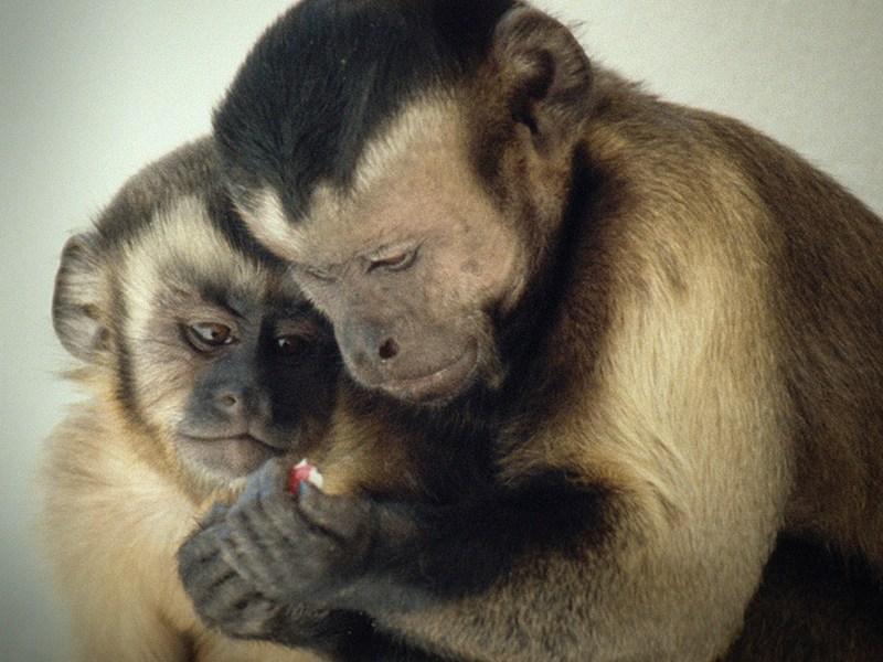 Frans B. M. de Waal chimps main