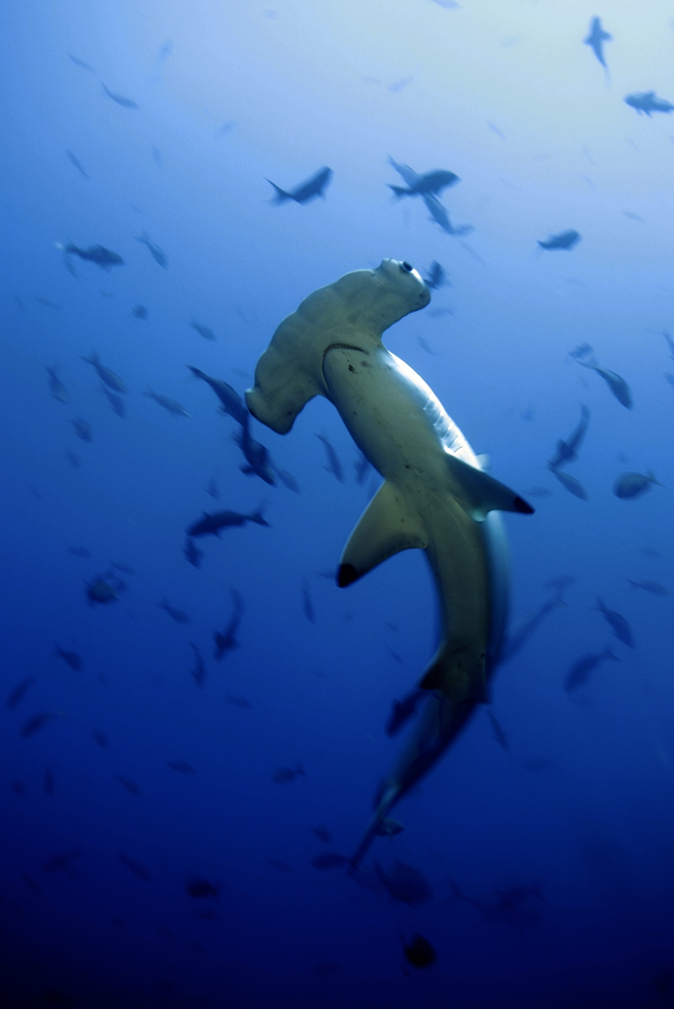Hammerhead_Shark costa rica 1