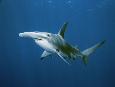 Hammerhead_Shark costa rica